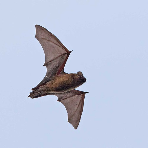 Noctule Bat 1