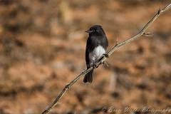 Black Phoebe (Arizphotodude) Tags: arizona nature outdoors birding sigma blackphoebe naturephotography riparianpreserve