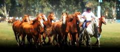 Los Alazanes Malacara (Eduardo Amorim) Tags: horses horse southamerica argentina criollo caballo cheval caballos cavalos pferde herd cavalli cavallo cavalo gauchos pferd ayacucho chevaux gaucho cavall  amricadosul gacho amriquedusud provinciadebuenosaires  gachos  sudamrica suramrica amricadelsur sdamerika crioulo caballoscriollos criollos  tropillas buenosairesprovince americadelsud tropilhas tropilla crioulos cavalocrioulo americameridionale tropilha caballocriollo eduardoamorim cavaloscrioulos