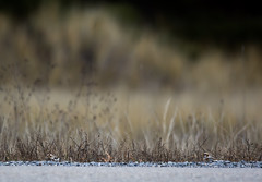 Do you see them? (Dr. Farnsworth) Tags: bird fall grass birds mi nationalgeographic fernridge treatment muskegon snowyowl snowbunting wastewater december2015
