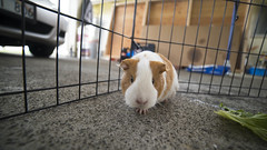Nibs (Jonah Dias) Tags: island hawaii guinea pig big sony coolest fotodiox rokinon a7s