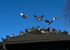 Warm Place for Flock of Pigeons (john atte kiln) Tags: roof winter inflight warm pigeons flock landing tiles blueskies resting twigs warmingup warmplace flockofpigeons