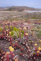 Dudleya farinosa / Sea-bluff-lettuce (celiaronis) Tags: landscape pointreyes celia dudleya