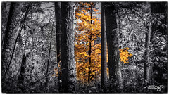 A Flame In The Forest (dougkuony) Tags: trees nature gold scenic hdr itasca selectivecolor scenicdrive itascastatepark