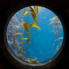 kelp forest window (j j miller) Tags: california window water aquarium coast monterey education tank montereybayaquarium montereybay science kelp learning hwy1 sustainability californiacoast kelpforest giantkelptank
