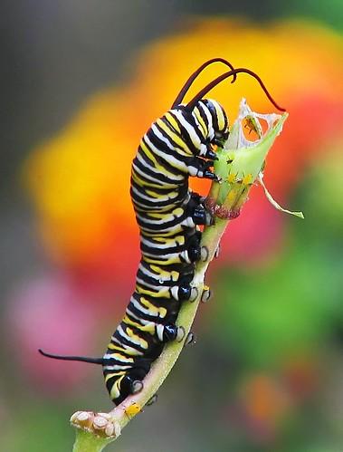 12 Days of Christmas Butterflies: #12 Monarch caterpillar