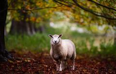 'Hoggit in the Copse' (Jonathan Casey) Tags: sheep norfolk gunton park autumn leaves nikon d810 200mm f2 vr