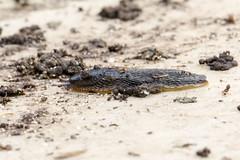 Blue-black Soil Slug, Arion (Kobeltia) hortensis (Baractus) Tags: earlswood lakes west midlands uk john oates garden slug southern blueblack soil arion kobeltia hortensis ferussacs orangesoled