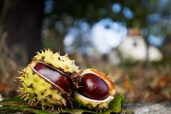 FB_IMG_1476642374279 (christianhorvath339) Tags: nature canoneos6d canonef1635 outdoor autumn chestnut kastanien tree