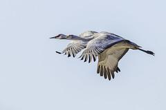 Sandhill Crane are flying in synchronization (X68_8746-1) (EricLuSF) Tags: sandhillcrane crane lodi california synchronization