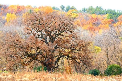 bur oak tree at Decorah Prairie IA 854A6917