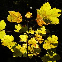 Another Autumn Stroll (Stu Knowler) Tags: closeup macro autumn welcombe devon leaf autumnal 1x1