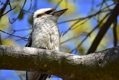 Kookaburra (Luke6876) Tags: laughingkookaburra kookaburra kingfisher bird animal wildlife australianwildlife