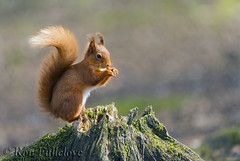 Red Squirrel (Sciurus vulgaris) (Ron Fullelove) Tags: red squirrel sciurus vulgaris scotland britishwildlife arboreal omnivorous mammal