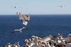 20160912_033_ile_bonaventure_traffic_intense_mais_pas_de_collision (lindy_scuba) Tags: bonaventure canada flying gannet landing perce quebec