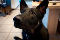 2016 septembre sookie (ocophoto86) Tags: chien chienne animal de compagnie german sheperd berger allemand