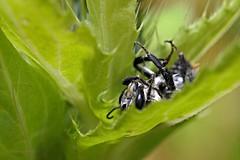 Das was bleibt (DianaFE) Tags: dianafe insekt pflanze tiefenschrfe schrfentiefe makro freihandmakro hummel dianae