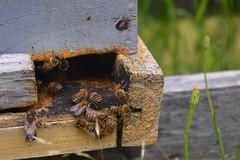 Lago Rapel (gabicontrerasb) Tags: abejas bees chile panal