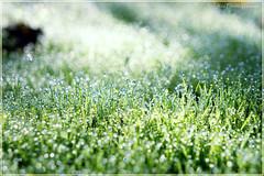Bokeh-Wonderland - Explore (Rita Eberle-Wessner) Tags: gras green grass bokeh dew tau tautropfen wiese macro depthoffield