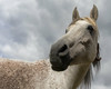 One of the ladies (FocusPocus Photography) Tags: araber araberpferd pferd arabian arab horse stute mare portrait porträt tier animal marbach hauptundlandgestüt