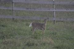 _MG_1857 (thinktank8326) Tags: deer whitetaileddeer fawn doe babyanimal babydeer