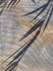 Shadows and Sawblades (Puzzler4879) Tags: stumps treestumps lightandshadow trees newmilfordconnecticut housatonicriver a580 textures treegrowthlines canona580 powershota580 canonpowershota580 canonpowershot powershot canon canonphotography canonaseries canonpointandshoot pointandshoot