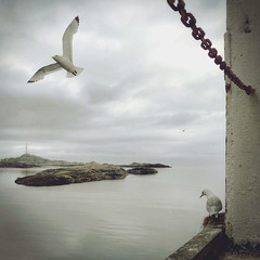 Come Fly With Me (M a r i k o) Tags: iphone iphone6s iphoneography iphonephotography mobile mobilephotography mariko square gull gulls seagull mwen bird birds flying sea ocean water clouds  moskenesya lofoten norway norge hipstamatic snapseed phototoaster picfx
