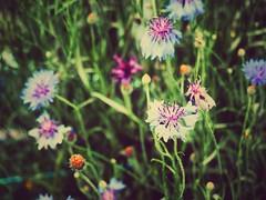 Spring Flora (Jon-Fū, the写真machine) Tags: jonfu 2016 olympus omd em5markii em5ii em5mkii em5mk2 em5mark2 オリンパス mirrorless mirrorlesscamera microfourthirds micro43 m43 mft μft マイクロフォーサーズ ミラーレスカメラ ミラーレス一眼カメラ ミラーレス機 ミラーレス一眼 snapseed japan 日本 nihon nippon ジャパン ジパング japón जापान japão xapón asia アジア asian fareast orient oriental aichi 愛知 愛知県 chubu chuubu 中部 中部地方 nagoya 名古屋 outdoors 野外 nature 自然 plants 植物 flower flowers 花 華 plant flora