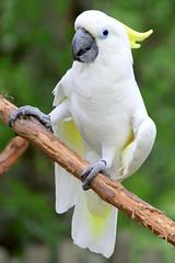 Triton Cockatoo - Nashville Zoo (SeeMidTN.com (aka Brent)) Tags: sulphurcrestedcockatoo tritoncockatoo cockatoo bird cacatuagalerita zoo nashvillezoo nashville tn tennessee bmok bmok2
