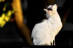 Having wings is an advantage, but ... ( Mikica Kosanovi ) Tags: cat 100mm