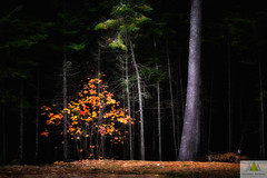 Confrrie/Brotherhood/Brdaskap (Elf-8) Tags: forest tree dark leaves pine