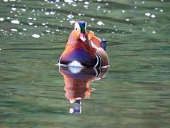 Mandarin duck. (PhotoLoonie) Tags: mandarinduck duck nature feathers colours colourful wildlife nottinghamwildlife ukwildlife