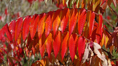 Fall Sumac (jameskirchner15) Tags: leaves sumac staghornsumac red plant fall fallcolors autumn pentax michigan patterns textures