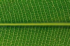 Nerium oleander (Cositos :)) Tags: hoja nerium oleander leaf macro tamron 90mm nikon d3300