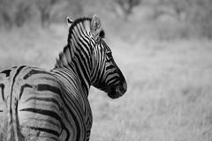 Zebra (maekke) Tags: africa namibia etosha animal zebra bw noiretblanc travelling 2016 canon eos6d