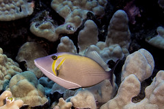 trigger fish (1 of 1) (b.campbell65) Tags: kona animal beautiful blue colorful coral coralheads dive diving fish hawaii island isolated marine nature ocean pacific reef reeffish scuba sea seascape swim travel triggerfish tropical underwater water wild wildlife