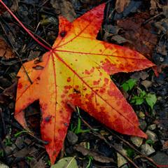 feuille (Pixmalo) Tags: feuillage automne autumn nature nikon d5300