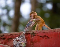 Game (Ash and Debris) Tags: fun child monkey animals game india paper kid newspaper littlemonkey shimla ape play animal
