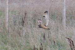 Short-eared owl (Steve Balcombe) Tags: bird birdofprey shorteared owl asio flammeus steart marshes somerset uk