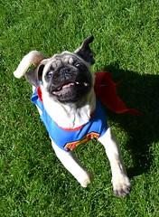 Boo Superman Pug (DaPuglet) Tags: pug pugs dog dogs puppy puppies pet pets animal animals costume halloween superman superpug funny cute