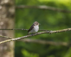 Spotted flycatcher (Karen bullock photography) Tags: spottedflycatcher isleofmull scotland innerhebrides hebrides scottishwildlife highlands argyllandbute uk muscicapastriata inexplore