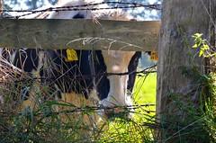 see you (_franka_) Tags: franka kuh cow