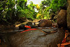 jungle love.. (Rob Valentic - Gondwana Reptile Productions) Tags: redheadedkrait robvalentic canoneos5dmark3 rainforestsnakes rainforestreptiles asiankrait bungarusflaviceps seribuatarchipelagoamphibians malaysia tropical tiomanislandreptiles crossislandtrailtioman juarareptiles pulautioman ripariansnakes junglelove spectacularasiansnakes highlyvenomous venomous elapidae medicallysignificantsnakes herpinhabitat wideanglereptiles fisheyesnake fisheyezeiss rollei16hft tiomanislandmalaysiasnakes lowlandrainforesttioman neurotoxic blacksnakeredhead