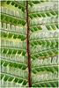 Duffryn Fern (Camera...Kid) Tags: fern plant foliage sten leaves green national trust duffryn house vale glamorgan wales