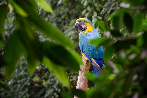 Gelbbrustara / Blue-and-yellow Macaw