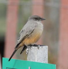 Say's Phoebe (Sayornis saya) 11-09-2016 Sandy Point SP, Anne Arundel Co. MD 13 (Birder20714) Tags: birds maryland flycatchers tyrannidae sayornis saya