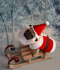 Christmas Santa Pug (DaPuglet) Tags: pug puppy christmas holiday santa winter dog costume cute pets pugs dogs animal animals pet beard snow sleigh sled santaclaus
