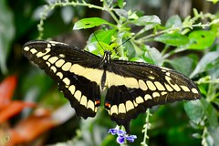 Thoas Swallowtail (Little Hand Images) Tags: thoasswallowtail butterfly insect flutterby nature macro plants flowers humid hot smithsonian naturalhistorymuseum washington dc