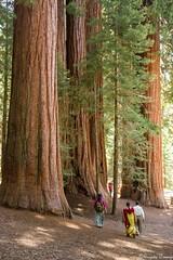 Walking Among Giants (Joy Forever) Tags: trees sequoia giantsequoia sequoianationalpark lostgrove generalshighway