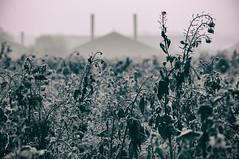 Cold | growth (Jan Bakker) Tags: growth raps frozen frieren bevroren koolzaad colza
